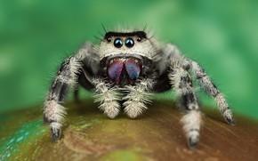 Картинка глаза, макро, поза, зеленый, фон, лапки, паук, мохнатый, прыгун, джампер, паучок, скакунчик, прыгунчик, прыгающий