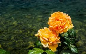 Картинка вода, розы, оранжевые, водоем
