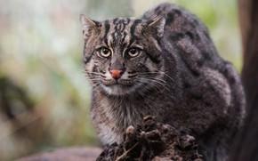 Картинка кот, взгляд, морда, фон, дикая кошка, дикий, рыболов, кот-рыболов