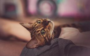 Картинка кошка, кот, взгляд, морда, поза, лежит, боке, абиссинская