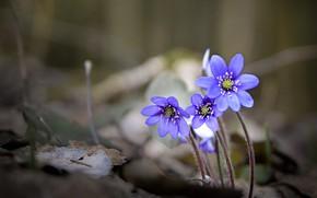 Картинка весна, трио, боке, Перелеска, Печёночница, Валерий Верещако