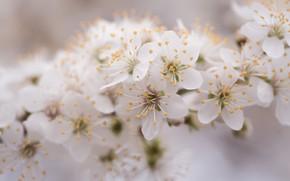 Картинка макро, цветы, вишня, нежность, ветка, весна, сакура, дымка, белые, цветение, боке, размытый фон