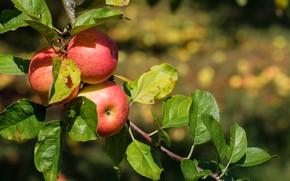 Картинка дерево, яблоки, Природа, плоды