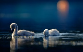 Картинка вода, птицы, парочка, лебеди, птенцы, лебедята