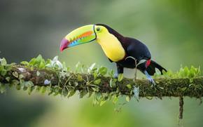 Картинка птица, ветка, тукан, bird, branch, toucan, Petr Simon