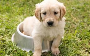 Картинка трава, взгляд, природа, собака, мордочка, щенок, сидит, золотой ретривер