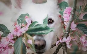 Картинка взгляд, морда, ветки, вишня, собака, нос, цветение, цветки, Белая швейцарская овчарка