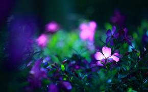 Картинка зелень, цветы, темный фон, яркие, фиолетовые, цветочки, сиреневые