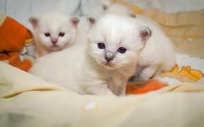Картинка взгляд, поза, котенок, фон, маленькие, котята, постель, три, белые, котёнок, малыши, трио, мордочки, три котенка, …