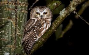 Картинка природа, птица, Northern Saw-whet Owl
