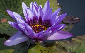 Картинка цветок, фиолетовый, водяные лилии