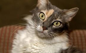 Картинка кошка, размытый фон, трехцветная