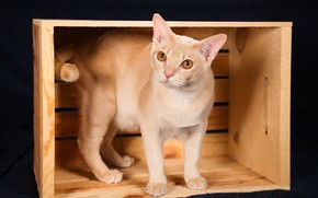 Картинка кошка, ящик, тёмный фон, Бурма, Бурманская короткошёрстная кошка