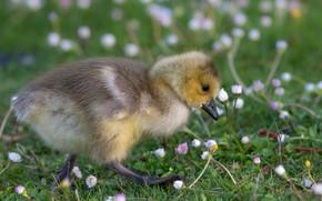 Картинка трава, взгляд, цветы, природа, птица, поляна, малыш, прогулка, утёнок, птенец, лужайка, зеленый фон, утенок, маргаритки, …