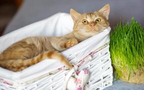 Картинка кошка, трава, кот, взгляд, счастье, релакс, рыжий, мордочка, милый, лежит, корзинка, сердечко