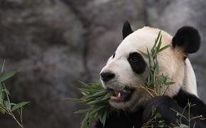 Картинка морда, листья, портрет, медведь, пасть, панда, обед, трапеза