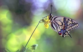 Картинка цветок, бабочка, махаон