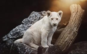 Картинка белый, взгляд, свет, камни, дерево, лев, бревно, сидит, львенок
