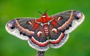 Картинка макро, зеленый, фон, узор, бабочка, насекомое, крылышки, разноцветная, яркая, мохнатая, павлиноглазка, серая с красным
