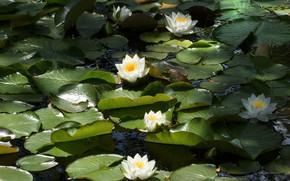 Картинка вода, нимфея, водяная лилия