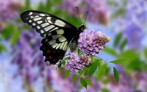 Картинка Grafika, Kwiaty, Motyl, Glicynia