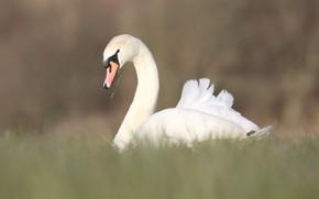 Картинка белый, трава, птица, поляна, лебедь, нежно, красавец