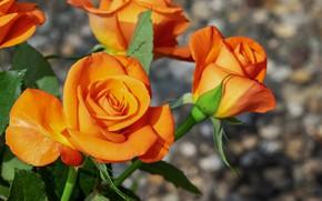Картинка розы, рыжие, оранжевые