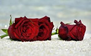 Картинка песок, море, пляж, капли, макро, цветы, берег, розы, красные, трио, бутоны, темно-красные
