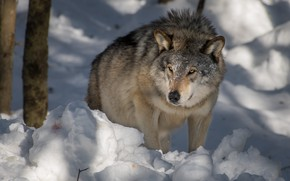 Картинка зима, взгляд, морда, свет, снег, деревья, природа, поза, серый, волк, хищник, тени, сидит