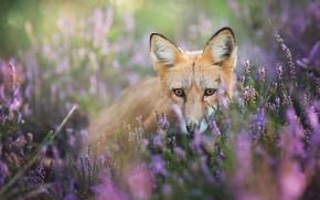 Картинка глаза, взгляд, цветы, фон, поляна, портрет, мордочка, лиса, рыжая, сидит, сиреневые, лисица, размытый, веточки, вереск