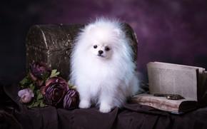 Картинка белый, фиолетовый, взгляд, поза, фон, собака, букет, пушистый, мордочка, милый, щенок, ткань, книга, сундук, ключи, …