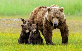 Картинка взгляд, медведь, медведи, малыши, медвежата, мама, медведица