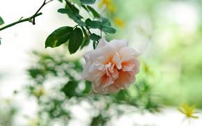 Картинка цветок, розовая, роза, ветка, боке