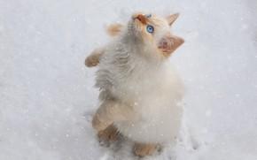 Картинка зима, белый, снег, котенок, снегопад, стойка, невская маскарадная, ред-пойнт