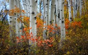 Картинка осень, лес, берёзы