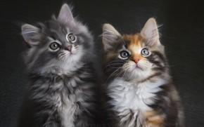 Картинка пара, котята, серый, трехцветная