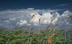 Картинка небо, облака, озеро, тростник, ветер, Тростник обыкновенный
