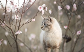 Картинка кошка, кот, цветы, ветки, природа, весна, профиль, цветение, боке, колор-пойнт