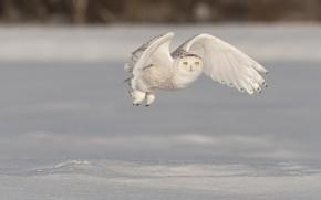 Картинка зима, поле, снег, полет, птица, крылья, сугробы, летит, полярная сова