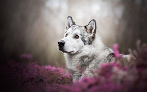 Картинка взгляд, морда, цветы, природа, портрет, собака, розовые, хаски, боке, маламут, вереск