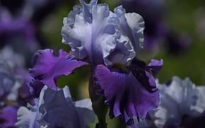 Картинка фиолетовый, макро, сиреневый, лепестки, Ирис, Касатик