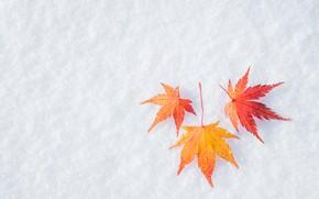 Картинка зима, осень, листья, снег, клен, winter, background, autumn, snow, leaves, maple