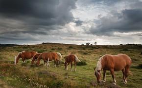 Картинка лето, небо, тучи, пасмурно, кони, лошади, пастбище, стадо, пасутся, стадо коней