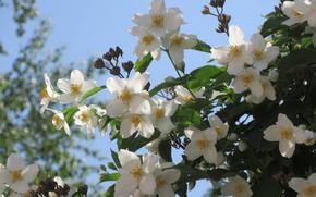 Картинка Небо, Жасмин, Белые цветы, Meduzanol ©, Весна 2018