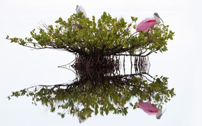 Картинка птицы, ветки, корни, отражение, листва, куст, белый фон, водоем, цапля, крона, розовая колпица, две птицы