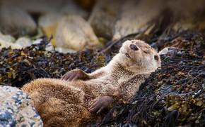 Картинка природа, Шотландия, выдра