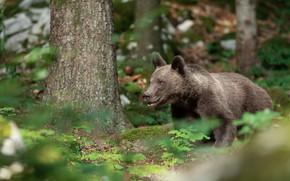 Картинка лес, лето, трава, природа, дерево, медведь, мишка, медвежонок, молодой, бурый, подросток