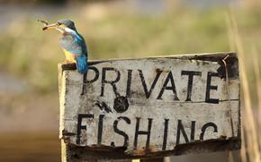 Картинка буквы, фон, надпись, птица, табличка, рыбалка, рыбка, рыба, ветка, доска, птичка, добыча, зимородок, яркое оперение, …