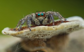 Картинка глаза, макро, фон, гриб, паук, прыгун, джампер, паучок, прыгающий паук, членистоногое