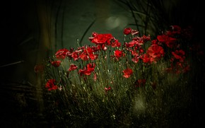 Картинка лето, свет, цветы, темный фон, маки, обработка, красные